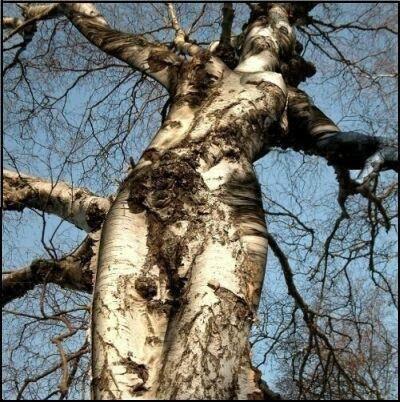 veruschka-tree